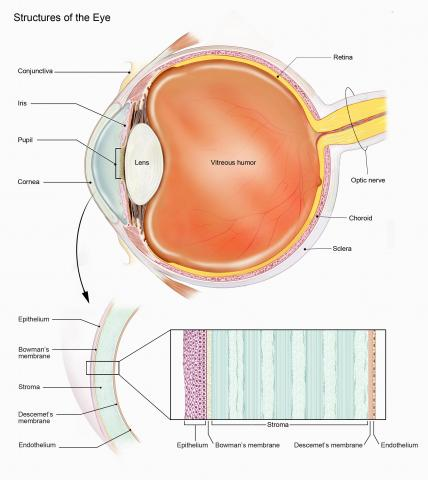 image tagged with bowman's membrane, cornea, vitreous humor, choroid, eye structures, …;