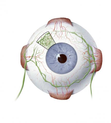 image tagged with illustration, eye, globe, blood vessels, anatomy